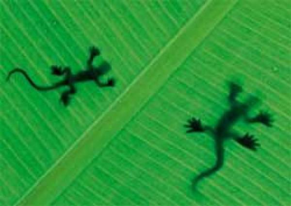 Postkarte Geckos