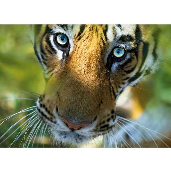 Postkarte bengalischer Tiger